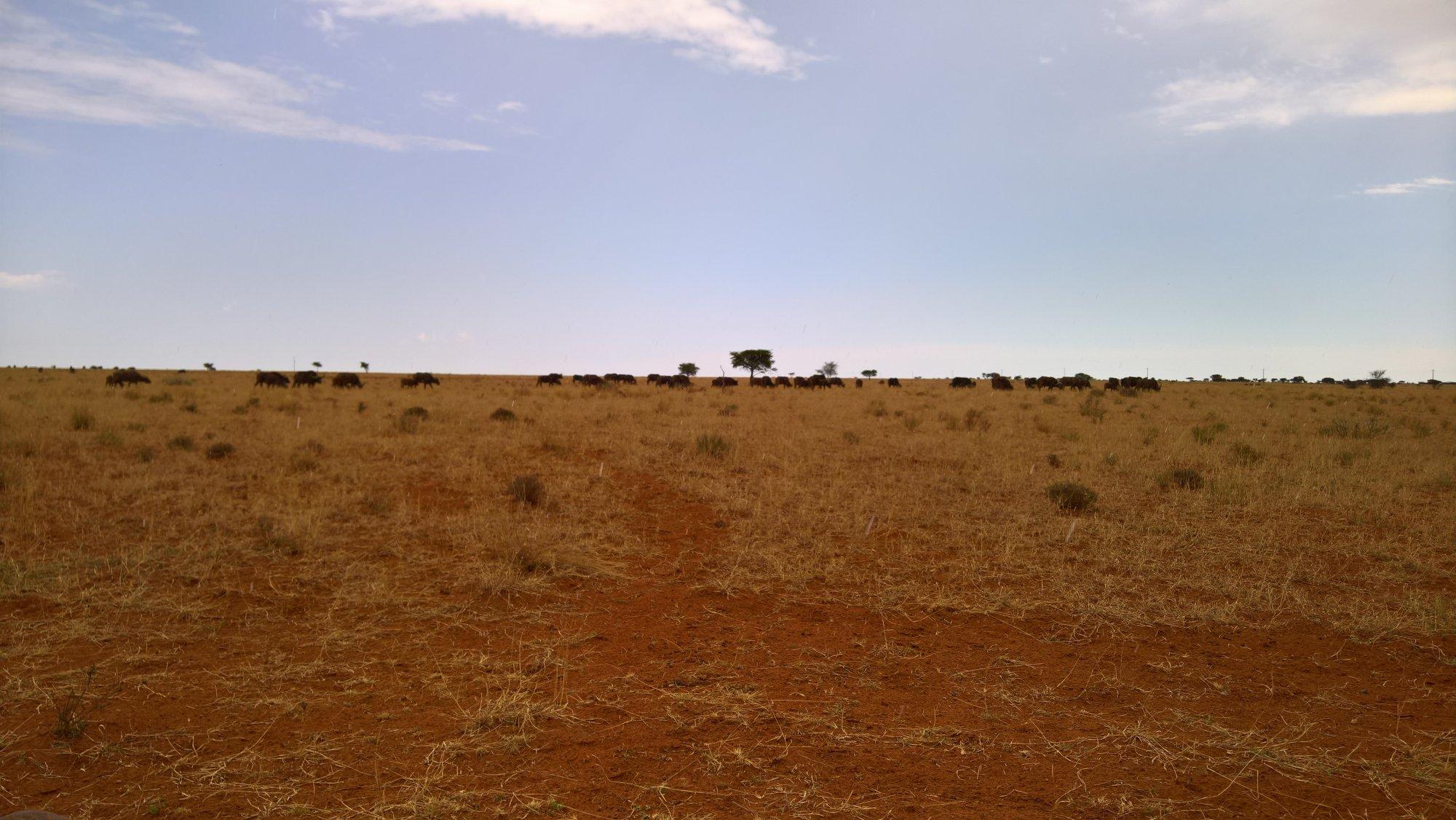 Büffel-Herde mit über 80 Tieren